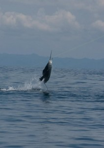 Protect the Costa Rican sailfish population with RFID tags.